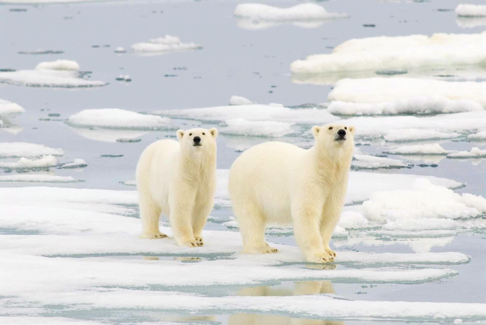 挪威北角北极熊